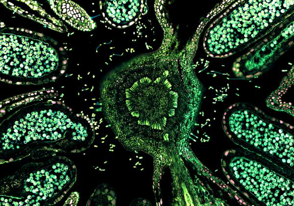 Hazelnut (male flower), overlay of 7 channel autofluorescence microscopy - Image: © ZEISS Microscopy (CC-BY 2.0)